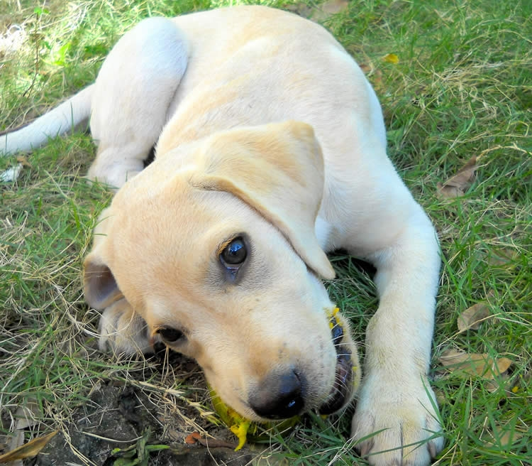 Dez alimentos humanos perigosos para o seu cachorro